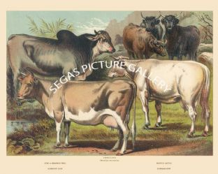 Zebu or Brahmin Bull, Scotch Cattle, Alderney Cow, Durham Cow
